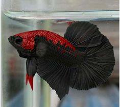 Amazing Black Plakat Tail With Red Head Betta Fish - Luisa Pretty Fish, Cool Fish, Beautiful Fish, Betta Aquarium, Tropical Fish Aquarium, Betta Fish Types, Beta Fish, Fish Fish, Siamese Fighting Fish