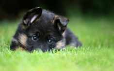 German Shepherd Puppy Wallpaper Phone #041 2560x1600 px 1.05 MB Animal  baby black desktop hd husky in snow iphone police puppies puppy with blue eye