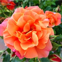 The first blooms of the season from our Disneyland Rose tree. These flowers start off as red buds but quickly change into shades of deep pinks and oranges as they bloom. They're simply magical.