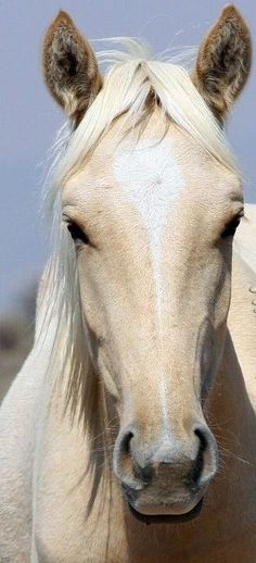 An Isabelo horse. Isabeloes are the lightest shade of Palominos. They were first heard of in history during the time of Queen Isabella (where the name come froms) of Spain. The famed Mustang, Cloud, is an Isabello.