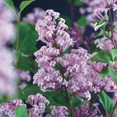 Busk med kompakt, noe sped og yndig vekst, her podet på stamme, med lyst fiolette blomster. Fin til fjellhager og krukker. Finest på solrik plass med kalkrik jord. ...