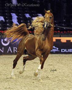 BASHIR AL SHAQAB (Marwan AI Shaqab x SWF Valencia) Arabian Horses World Chempionship Paris 2012 by Wojtek Kwiatkowski