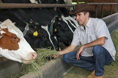 Gado de corte - engorda das categorias de bovinos - A escolha dos tipos de animais a serem confinados deve levar em consideração a idade, o sexo, a estrutura do animal, e a taxa de ganho de peso #alcanceosucesso
