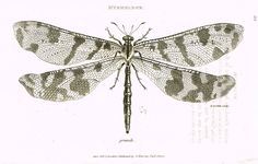 """Shaw's General Zoology - (Insects) - """"MYRMELEON - DRAGON FLY"""" - Copper Engraving - 1805"""