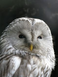 Grey/white owl