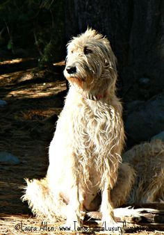 Irish wolfhound.  Ever since I was 7 years old I have dreamed of one day getting the pleasure to have an Irish Wolfhound buddy!