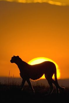 Cheetah in sunset