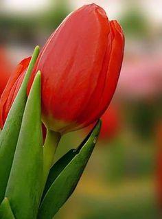 Tulips- My Favorite!