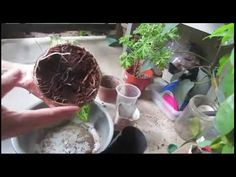 Comment rempoter Dieffenbachia / Dumb Cane - YouTube Belle Plante, Dumb And Dumber, Tutorials, Gardening, Youtube, Lawn And Garden, Youtubers, Youtube Movies, Horticulture