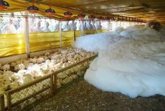 """"""" In Spain 'scientists' watch and are excited to see how well their new method of killing chickens is working. In 15 minutes 15,000 birds are killed by suffocation using car wash type foam."""" And these monsters are called *Scientists*??? WTF!!!!"""