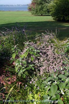 Aster 'Lady in Black', silver spurflower, Salvia 'Waverly', and Agastache 'Acapulco Salmon and Pink' in the North Garden. Plants, Acapulco, North Garden, Salvia, Garden