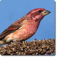 Purple #Finch – Bird o' the Day – Backyard Wild #Bird Directory –