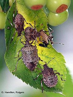 How to Get Rid of Brown Marmorated Stink Bugs