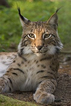 Wikijuniorbig Cats Lynx And Bobcats Wikibooks Open Books For An Open World