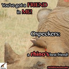the oxpecker! Did you know this lovely creature is a rhino's best friend? Lovely Creatures, Best Friends, Wildlife, African, Bird, Beat Friends, Bestfriends, Birds, Bffs