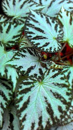 Houseplants That Filter the Air We Breathe Begonia Outdoor Plants, Air Plants, Garden Plants, Begonia, Elephant Ear Plant, Perennial Flowering Plants, Belle Plante, California Garden, Plant Painting
