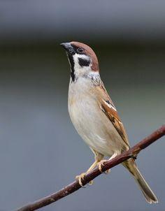 Alerte ringmus - Vogels (ijsvogel, koolmees, vink) -
