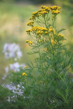 Tansy ~life everlasting~ in the Language of Flowers.