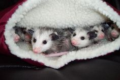 Pouch o possums