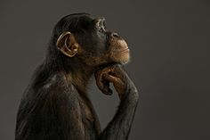 Chimpanzee Rights Get a Day in Court | WIRED
