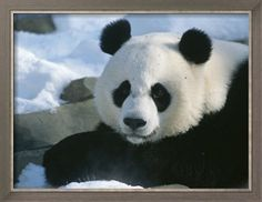 A Panda at the National Zoo in Washington, Dc Photographic Print by Taylor S. Kennedy at Art.com