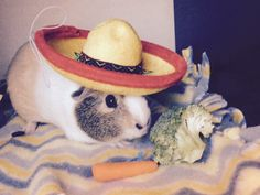 Guinea pig in a Sombrero  ~ credit from ginger snap