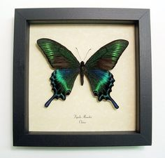 Wedding Gift Real Framed Green Papilio by REALBUTTERFLYGIFTS