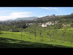 Tea Estate , Coonoor, India,