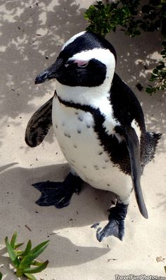 Baby Penquin at Boulder Penguin Colony in Cape Town, South Africa
