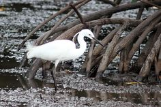 a355 20110409 Sabah Jungle Tour\24 Birds\014 Little Egret 白鹭鸶 นกยางเปีย