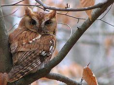 Eastern Screech-owl - Chesapeake Bay Program