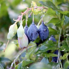 Blueberry Plant - Bluedrop Blueberry Plant, Sutton Seeds, Fruit Garden, Blueberries, Allotment, Blueberry, Fruit Tree Garden