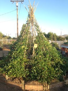 Here is our bean tee-pee after 4 months.  We have all kinds of beans and other veggies growing around it.