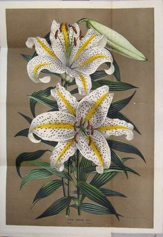 [Botanical Print Lilium Auratum Flower Colour Lily]