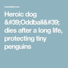 Heroic dog 'Oddball' dies after a long life, protecting tiny penguins