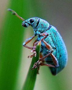 Blue Weevil - New Guinea  (Polydrusus sericeus)