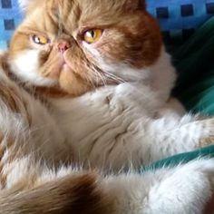 Portrait of an exotic shorthair Garfield!