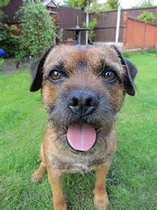 An ideal companion for all, the Border Terrier can also be gentle with kids. The breed also tends to bark and dig, and is prone to escape attempts.