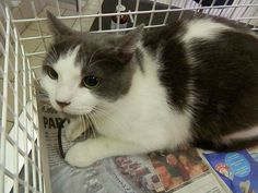 #gevonden Cette chatte de 3 ans a été trouvée à Ixelles. #kattin van 3 jaar werd gevonden in Elsene. half janu 2015 Veeweyde officiel https://www.facebook.com/VeeweydeOfficiel?ref=stream REF : 15010701