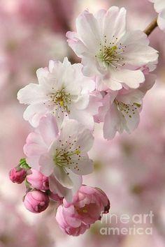 Plum blossoms by Frank Townsley Cherry Blossom Art, Blossom Flower, Wallpaper Tumblr Lockscreen, Color Me Beautiful, Flower Aesthetic, Spring Blossom, Flower Wallpaper, Flower Photos, Planting Flowers