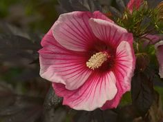 Hibiscus x moscheutos Small Wonders Fleming Dwarf Hibiscus™ 'Small Wonders' from Flemings Flower Fields