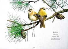 Small Bird Print Goldcrests 1992 Vintage Book Page Bird