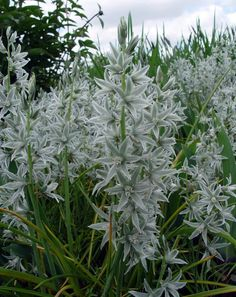The Silver Bells (Ornithogalum nutans) have a silver blue flower on a sage colored leaf; 10 for $3.20 at Brent and Becky's.
