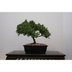MM BONSAI JUNIPER BONSAI TREE IN JAPANESE POT ** To view further for this item, visit the image link.