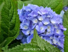 Endless Summer Hydrangea -  Hydrangea macrophylla Deciduous Flowering Shrub  Flower: Deep blue Height: 3-5'  Spread: 3-5' June to October  Exposure: Part shade/sun  Extremely hardy
