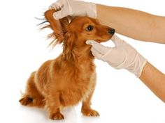 Dog Ear Infection Home Remedy - not necessarily to do when your dog has an infection but if you can see it might be headed that way, try the apple cider, water, mixture to clean them so your dog stays healthy and you can enjoy the smell of a healthy ear... I know I'm not the only one who likes the smell of their dogs ear ;)