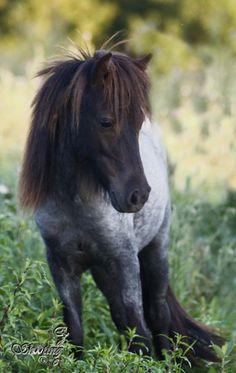 Blue roan mini omg!!!!  http://www.equinenow.com/horse-ad-688749