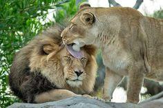 Katzenwäsche - Frauen müssen das machen hab aber auch gesehen, dass die Männchen ihr Weibchen pflegen
