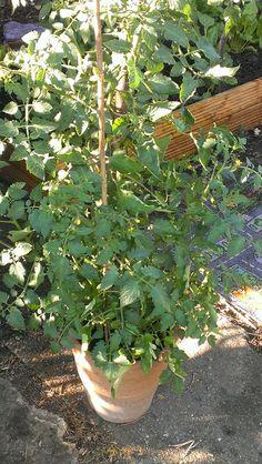 Our Giant Tomato plant