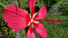 """Our """"Texas Star"""" Hibiscus bloomed today. These are hardy from zone 4-9. See more at  http://homeguides.sfgate.com/much-cold-can-hibiscus-stand-68229.html June 17, 2015 Loranger LA #gardening #flowers #ornamentals #blooms"""